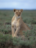 Lioness (Panthera Leo), Etosha National Park, Namibia, Africa Photographic Print by Steve & Ann Toon