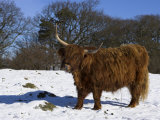 Highland Bull in Snow, Conservation Grazing on Arnside Knott, Cumbria, England Photographic Print by Steve & Ann Toon
