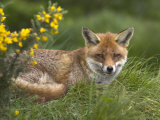 Red Fox, Vulpes Vulpes, Captive, United Kingdom Photographic Print by Steve & Ann Toon