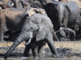 Elephants, Wallowing in Muddy Water in Addo Elephant National Park, South Africa Photographic Print by Steve & Ann Toon