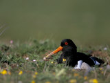 Oystercatcher (Haematopus Ostralegus) on Nest, South Walney Reserve, Cumbria, England Photographic Print by Steve & Ann Toon