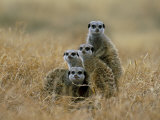 Meerkats (Suricates) (Suricata Suricatta), Greater Addo National Park, South Africa, Africa Photographie par Steve &amp; Ann Toon