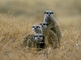 Meerkats (Suricates) (Suricata Suricatta), Greater Addo National Park, South Africa, Africa Fotografisk tryk af Steve & Ann Toon