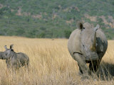 White Rhino (Ceratotherium Simum) Mother and Calf, Itala Game Reserve, South Africa, Africa Photographic Print by Steve & Ann Toon