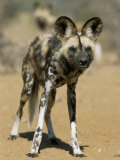 Wild Dog (Lycaon Pictus) in Captivity, Namibia, Africa Photographic Print by Steve & Ann Toon