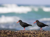 African Black Oystercatchers, De Hoop Nature Reserve, Western Cape, South Africa Photographic Print by Steve &amp; Ann Toon
