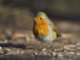Robin, Erithacus Rubecula, on Ground at Leighton Moss Rspb Nature Reserve, Lancashire Photographic Print by Steve & Ann Toon