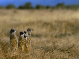 Meerkats (Suricates) (Suricata Suricatta), Addo National Park, South Africa, Africa Photographic Print by Steve & Ann Toon