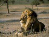 Lion (Panthera Leo), Kalahari Gemsbok Park, South Africa, Africa Photographic Print by Steve & Ann Toon