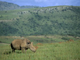 White Rhino (Ceratotherium Simum), Itala Game Reserve, Kwazulu Natal, South Africa, Africa Photographic Print by Steve & Ann Toon