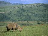 White Rhino (Ceratotherium Simum), Itala Game Reserve, Kwazulu Natal, South Africa, Africa Photographic Print by Steve & Ann Toon