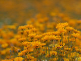 Namaqualand Daisies in Spring Annual Flower Display, Cape Town, South Africa Photographic Print by Steve & Ann Toon