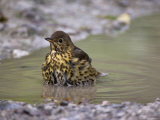 Song Thrush, Turdus Philomelos, Bathing in Puddle, United Kingdom Photographic Print by Steve & Ann Toon