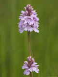 Heath Spotted Orchid (Dactylorhiza Maculata), Grasspoint, Mull, Inner Hebrides, Scotland Photographic Print by Steve & Ann Toon