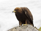 Golden Eagle, Aquila Chrysaetos, in Snow, Captive, United Kingdom Fotografie-Druck von Steve & Ann Toon