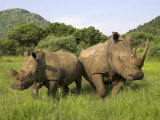 White Rhino, with Calf in Pilanesberg Game Reserve, South Africa Fotoprint van Steve & Ann Toon