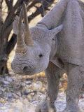 Black Rhinoceros (Diceros Bicornis), Etosha, Namibia, Africa Photographic Print by Steve & Ann Toon