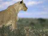 Lioness (Panthera Leo) with Small Cub, Kalahari Gemsbok Park, South Africa, Africa Photographic Print by Steve & Ann Toon
