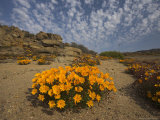 Annual Spring Wild Daisies, Namaqualand, Northern Cape, South Africa, Africa Photographic Print by Steve & Ann Toon