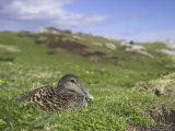 Female Eider Duck on Nest, Somateria Mollissima, Isle of May, Scotland, United Kingdom Photographic Print by Steve & Ann Toon