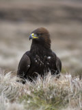 Golden Eagle, Aquila Chrysaetos, Moorland, Captive, United Kingdom Photographic Print by Steve & Ann Toon