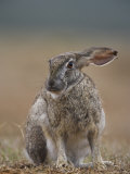 Cape Hare, Lepus Capensis, Addo Elephant National Park, South Africa, Africa Photographic Print by Steve & Ann Toon