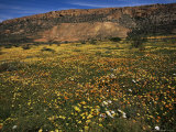 Spring Wildflowers, Western Cape, South Africa, Africa Photographic Print by Steve & Ann Toon