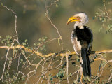 Southern Yellowbilled Hornbill (Tockus Leucomelas), Kruger National Park, South Africa Photographic Print by Steve & Ann Toon