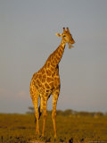 Giraffe (Giraffa Camelopardalis) Grazing, Etosha National Park, Namibia, Africa Photographic Print by Steve & Ann Toon