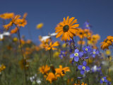 Namaqualand Daisies and Spring Wildflowers, Clanwilliam, South Africa Photographic Print by Steve & Ann Toon
