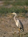 Grey Heron (Ardea Cinerea), Etosha National Park, Namibia, Africa Photographic Print by Steve & Ann Toon