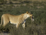 Lioness (Panthera Leo) Carrying Cub to Safety, Kalahari Gemsbok Park, South Africa, Africa Photographic Print by Steve & Ann Toon