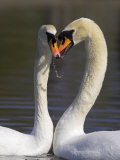 Mute Swan Pair, Courting at Martin Mere Wildfowl and Wetlands Trust Nature Reserve, Lancashire Photographic Print by Steve & Ann Toon