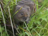 Water Vole (Arvicola Terrestris), Alston Moor, Cumbria, England, United Kingdom Photographic Print by Steve & Ann Toon