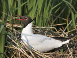 Blackheaded Gull, Larus Ridibundus, on Nest, Leighton Moss R.S.P.B. Reserve, England Photographic Print by Steve & Ann Toon