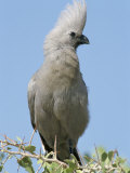Grey Lourie (Corythaixoides Concolor), Etosha National Park, Namibia, Africa Photographic Print by Steve & Ann Toon