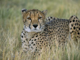 Captive Cheetah (Acinonyx Jubatus), Namibia, Africa Photographic Print by Steve &amp; Ann Toon