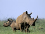 White Rhino (Ceratherium Simum) with Calf, Itala Game Reserve, South Africa, Africa Photographic Print by Steve & Ann Toon