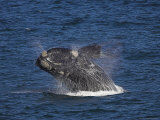 Southern Right Whale, Eubalaena Australis, Hermanus, South Africa, Africa Photographic Print by Steve & Ann Toon