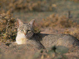 African Wildcat (Felis Lybica) Kgalagadi Transfrontier Park, South Africa, Africa Photographic Print by Steve & Ann Toon