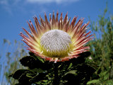 King Protea (Protea Cynaroides) Flower, Kirstenbosch Botanical Gardens, Cape Town, South Africa Photographic Print by Steve & Ann Toon