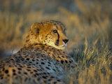 Captive Cheetah (Acinonyx Jubatus), Namibia, Africa Photographic Print by Steve & Ann Toon