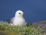 Fulmar, Fulmarus Glacialis, Isle of May, Fife, Scotland, United Kingdom Photographic Print by Steve & Ann Toon