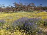 Carpet of Spring Flowers, Mullewa, Western Australia, Australia Photographic Print by Steve & Ann Toon