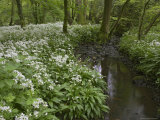 Wild Garlic, or Ramson, Allium Ursinum, Lancashire, England, United Kingdom Photographic Print by Steve & Ann Toon