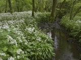 Wild Garlic, or Ramson, Allium Ursinum, Lancashire, England, United Kingdom Photographic Print by Steve & Ann Toon