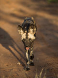 African Wild Dog, Lycaon Pictus, Venetia Limpopo Nature Reserve, South Africa, Africa Photographic Print by Steve & Ann Toon