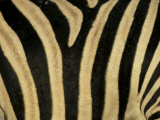 Close-Up of Zebra Skin, South Africa, Africa Premium Photographic Print by Steve & Ann Toon