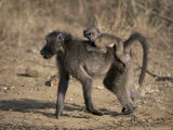 Chacma Baboon Carrying Young, Hluhluwe and Umfolozi Game Reserves, South Africa Photographic Print by Steve & Ann Toon