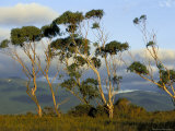 Eucalyptus Trees in Evening Light, Wilson's Promontory National Park, Victoria, Australia Photographic Print by Steve & Ann Toon